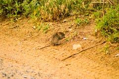 Muis het knagen aan op een landweg in de savanne van Maasai Mara Stock Foto