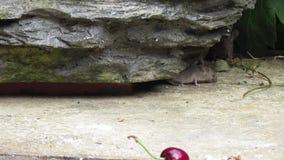 Muis het voeden van crumbs tuiniert binnenshuis stock video