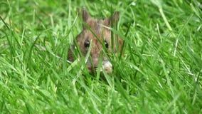 Muis in lang gras stock video