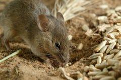 Muis van de close-up graaft de kleine veldmuis dichtbij een gat van korrels van rogge op het gebied stock fotografie