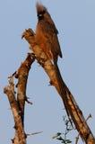 Muisvogel Royalty-vrije Stock Afbeeldingen