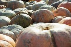 muita abóbora Teste padrão da queda Mercado dos fazendeiros Fotos de Stock Royalty Free