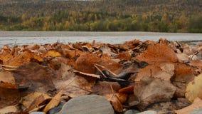 Muita folha colorida do outono em uma pilha longa na costa do rio com água e a floresta frescas limpas de fluxo filme