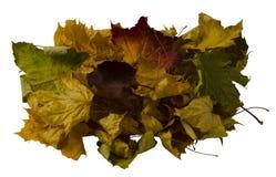 Muita folha de bordo seca colorida Foto de Stock