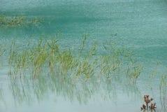Muita grama verde na água Imagens de Stock