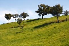 Muitas árvores de carvalho novas do olm imagens de stock royalty free