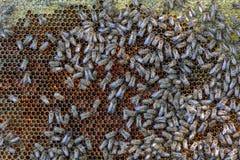 Muitas abelhas rastejam nos favos de mel sextavados enchidos com o mel fresco Imagem de Stock
