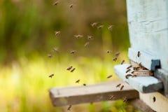 Muitas abelhas voam à colmeia, apicultura no campo apiário das abelhas na primavera imagem de stock