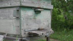 Muitas abelhas voam à colmeia filme