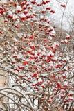 Muitas bagas vermelhas da bola de neve no inverno Foto de Stock Royalty Free