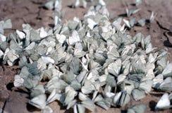 Muitas borboletas brancas da mesma espécie estão sentando-se na terra marrom fotos de stock