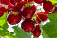 Muitas cerejas maduras vermelhas Fotografia de Stock
