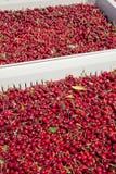 Muitas cerejas maduras vermelhas em um escaninho pronto para ser empacotado para a venda fotos de stock