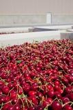 Muitas cerejas maduras vermelhas em um escaninho pronto para ser empacotado para a venda fotografia de stock