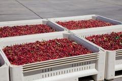 Muitas cerejas maduras vermelhas em um escaninho pronto para ser empacotado para a venda fotos de stock royalty free