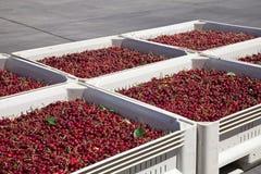 Muitas cerejas maduras vermelhas em um escaninho pronto para ser empacotado para a venda foto de stock royalty free