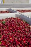 Muitas cerejas maduras vermelhas em um escaninho pronto para ser empacotado para a venda fotografia de stock royalty free