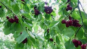 Muitas cerejas maduras vermelhas em uma árvore vídeos de arquivo