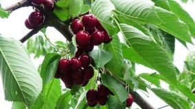 Muitas cerejas maduras vermelhas em uma árvore video estoque