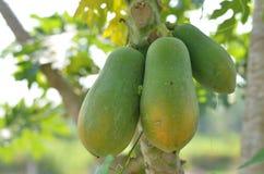 Muitas da papaia Fotos de Stock