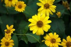 Muitas flores amarelas em um escuro - fundo verde, flores sob a forma do crescimento das margaridas fotos de stock