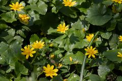 Muitas flores amarelas pequenas na floresta, flores da floresta da mola no fundo das folhas verdes imagens de stock