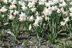 Muitas flores brancas de narcisos amarelos bonitos em um canteiro de flores Imagem de Stock