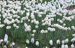 Muitas flores brancas de narcisos amarelos bonitos em um canteiro de flores Foto de Stock