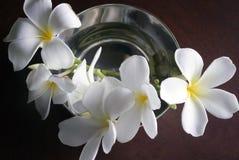 Muitas flores brancas e amarelas do frangipani Fotografia de Stock Royalty Free