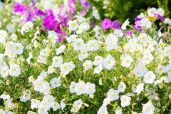 Muitas flores brancas Paisagem dos botões Cama de flor bonita imagem de stock royalty free