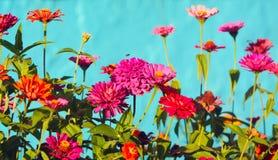 Muitas flores cor-de-rosa e vermelhas em um fundo azul Imagens de Stock Royalty Free