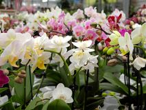 Muitas flores da orquídea de cores diferentes em um florista para a venda fotografia de stock royalty free