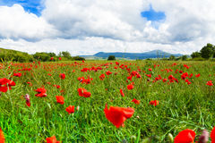 Muitas flores das papoilas em Itália Fotografia de Stock