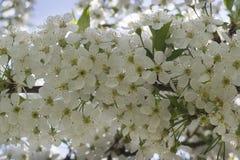 Muitas flores de cerejeira de florescência contra o céu Fotografia de Stock