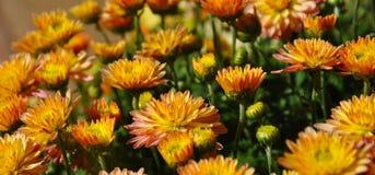 Muitas flores decorativas que florescem no vaso de flores do jardim Foto de Stock Royalty Free