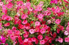 Muitas flores do rosa Planta bonita e brilhante Cama de flor de florescência fotografia de stock royalty free