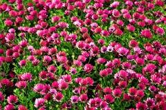 Muitas flores do vermelho Fotografia de Stock