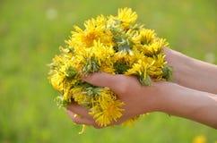 Muitas flores dos dentes-de-leão nas palmas Fotografia de Stock Royalty Free