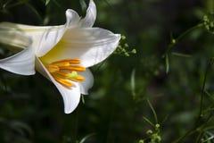 Muitas flores dos lírios brancos que florescem no jardim, flores bonitas, fundo fotos de stock