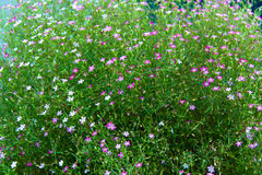 Muitas flores pequenas Foto de Stock Royalty Free