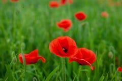Muitas flores vermelhas bonitas, papoilas em um fundo verde bonito imagem de stock royalty free