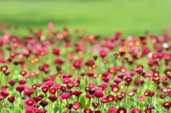 Muitas flores vermelhas vivas foto de stock