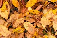 Muitas folhas amareladas na terra Fundo do pasto caído foto de stock