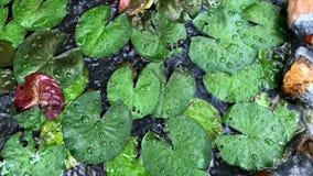 Muitas folhas dos lótus crescem e para flutuar na lagoa na chuva vídeos de arquivo