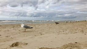 muitas gaivotas que sentam-se na areia na costa de Mar do Norte, Holanda fotografia de stock