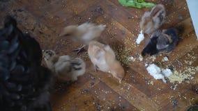 Muitas galinhas bonitos vivas no assoalho As galinhas comem a gr?o filme