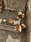 Muitas galinhas na jarda foto de stock