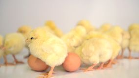 Muitas galinhas recém-nascidas filme