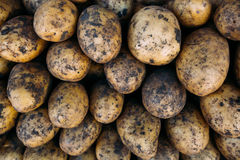 Muitas grandes batatas maduras no mercado Imagens de Stock Royalty Free