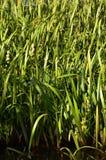 Muitas hastes dos juncos verdes Juncos ímpares com haste longa Imagem de Stock Royalty Free